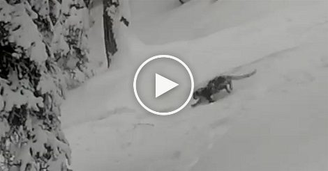 Snow leopard chases skiers in Gulmarg