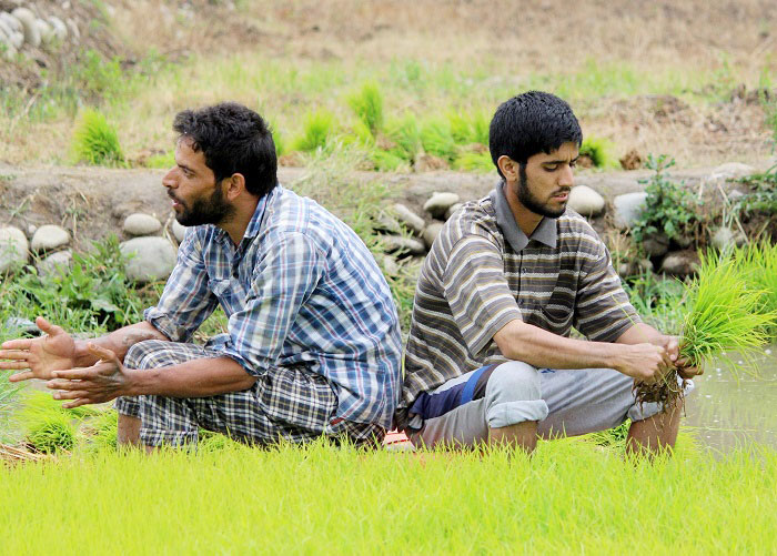 Farmers planting rice saplings in paddy fields in Kashmir