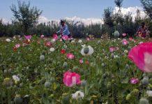 Poppy in Kashmir