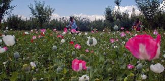 Poppy in Kashmir