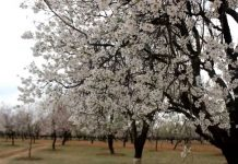 Almond blossom regains hope among Kashmir farmers
