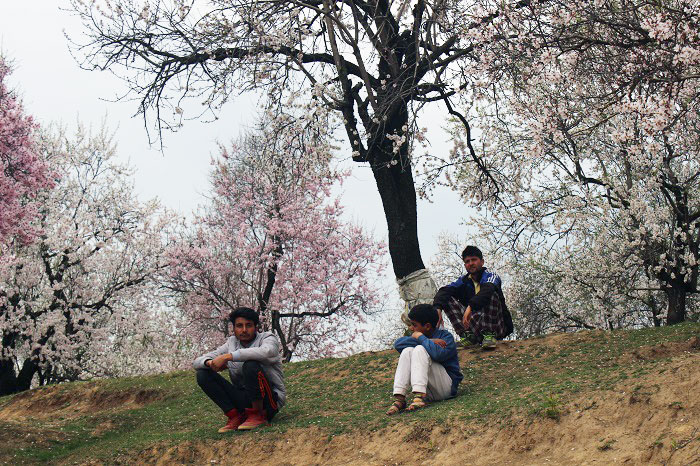 Spring blossom thrills farmers of Kashmir - Almond Orchards