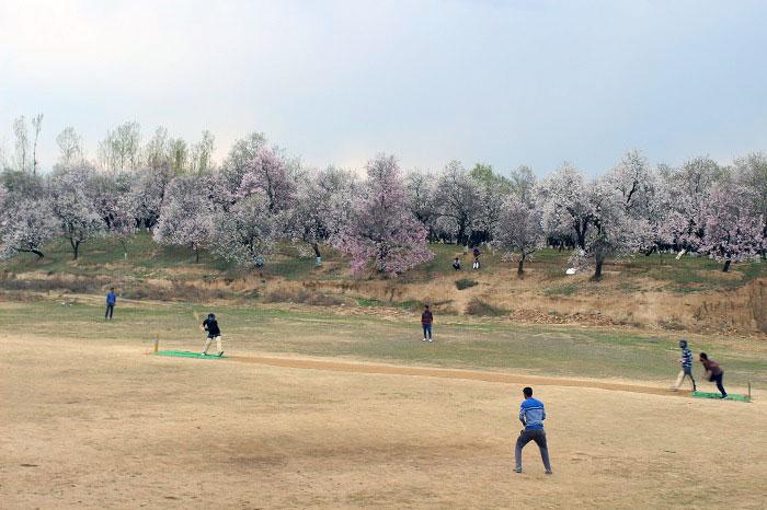 Spring blossom thrills farmers of Kashmir - Almond Blossom