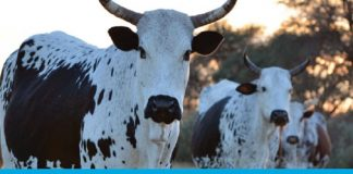 Animal Health Advisory - Cows