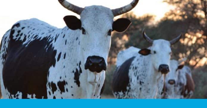 Animal Health Advisory - Cows